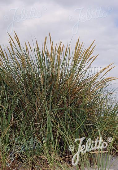 AMMOPHILA arenaria   Portion(en)