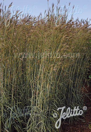 ANDROPOGON hallii   Portion(s)