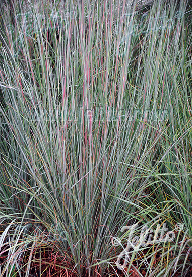 ANDROPOGON scoparius  'Aldous' Portion(en)