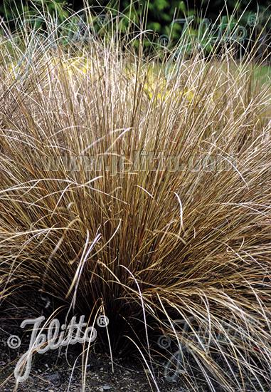 Jelitto Perennial Seed Carex Buchananii Portion S