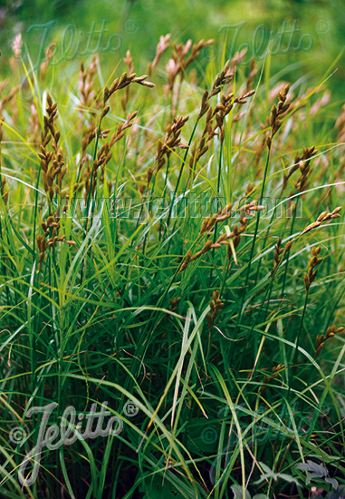 CAREX muskingumensis   Portion(s)