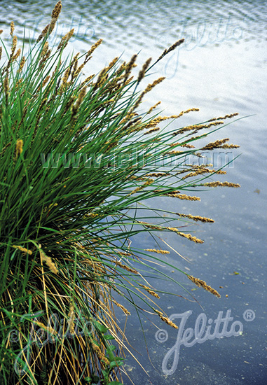 CAREX paniculata   Portion(s)