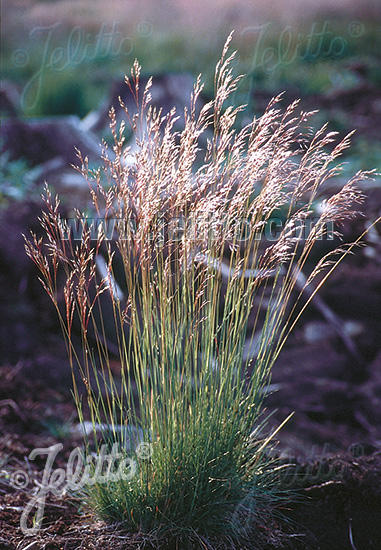Jelitto Perennial Seed Deschampsia Flexuosa Portion S