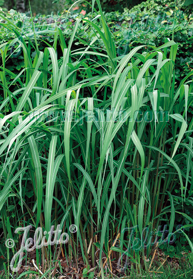 MISCANTHUS sinensis   Portion(s)