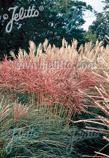 MISCANTHUS sinensis  'New Hybrids' Portion(s)