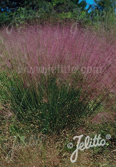 MUHLENBERGIA capillaris  pure seed Portion(s)