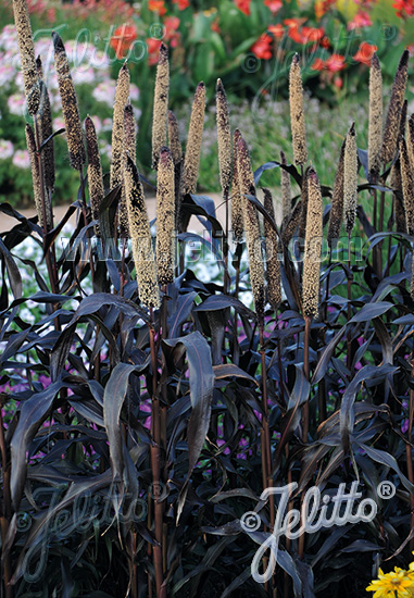 PENNISETUM glaucum  'Purple Majesty' Portion(s)
