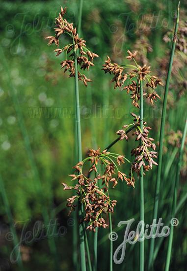 SCIRPUS lacustris   Portion(s)