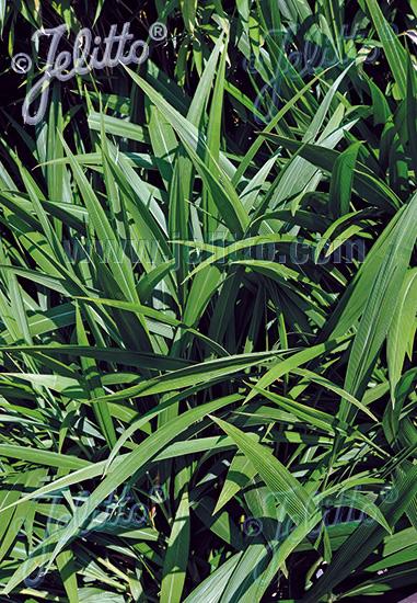 SETARIA palmifolia   Portion(s)