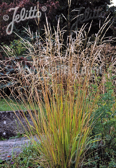 STIPA extremiorientalis   Portion(en)