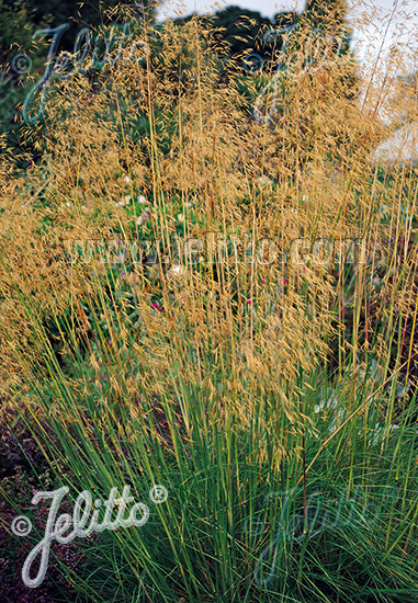 STIPA gigantea   Portion(s)