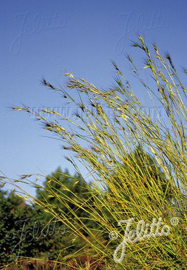 THEMEDA triandra var. japonica   Portion(s)