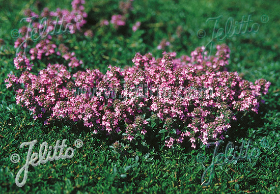 Jelitto Perennial Seed  THYMUS serpyllum Magic Carpet