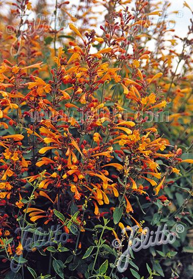 Jelitto Perennial Seed Agastache Aurantiaca Portion S