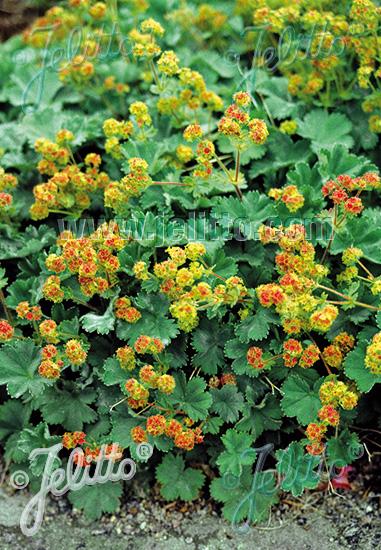 Jelitto Perennial Seed Alchemilla Erythropoda Portion S