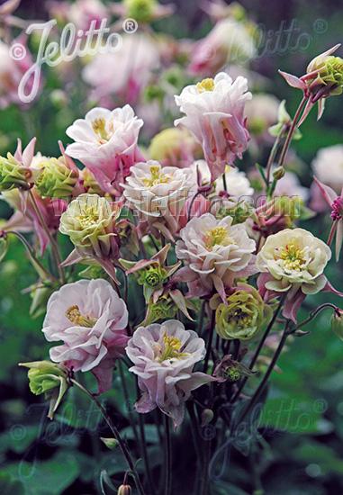Aquilegia vulgaris WINKY DOUBLE ROSE /& WHITE gefüllt Akelei
