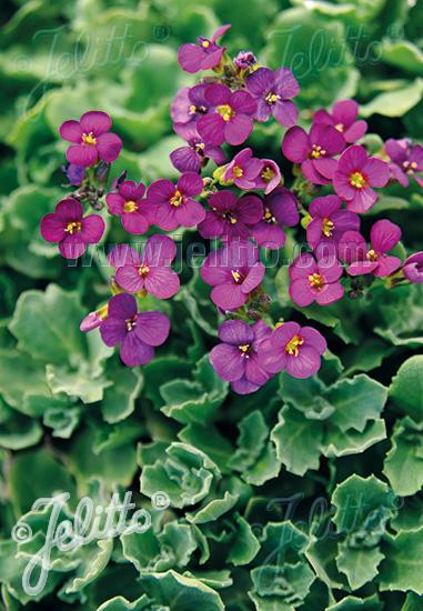 Jelitto Perennial Seed | ARABIS caucasica 'Little Treasure ... | 381 x 550 jpeg 130kB
