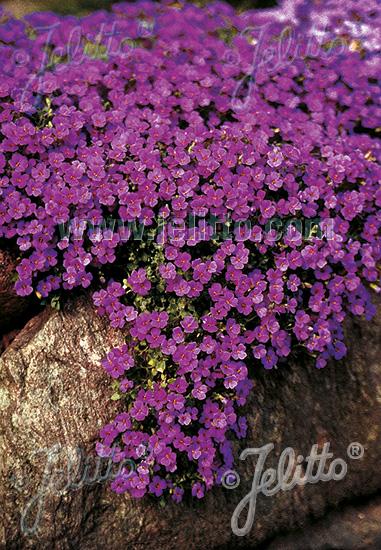 jelitto perennial seed aubrieta x cultorum 39 cascade purple 39 portion s. Black Bedroom Furniture Sets. Home Design Ideas