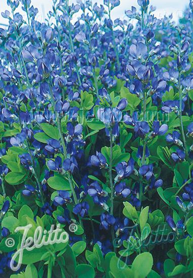 ORGANICALLY GROWN SEEDS-FREE SHIPPING! BLUE FALSE INDIGO Baptisia Australis 50
