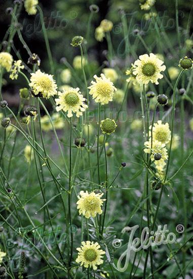 Jelitto Perennial Seed Cephalaria Gigantea Portion S
