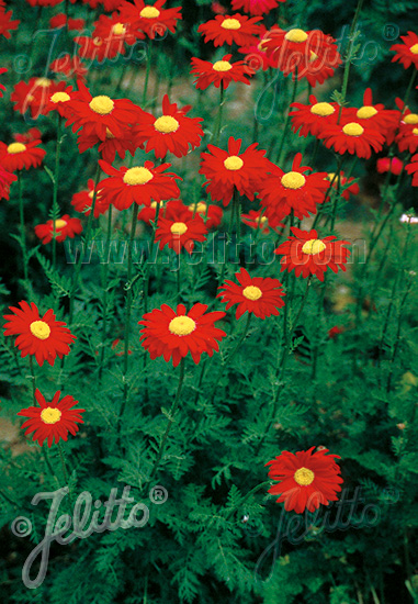 Jelitto Perennial Seed Tanacetum Coccineum Robinson Red