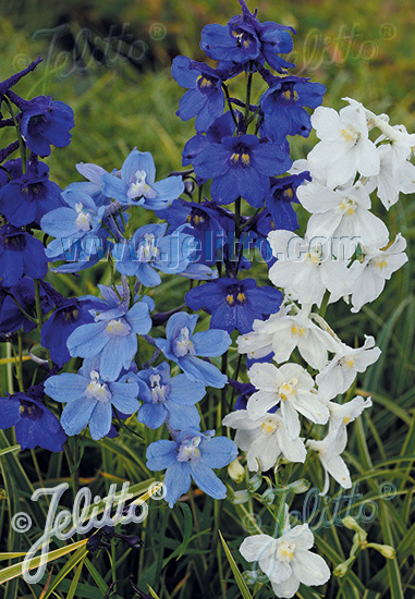 Jelitto Perennial Seed Delphinium Belladonna Connecticut Yankee Portion S