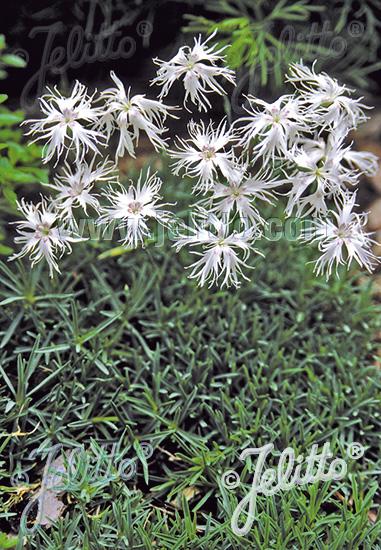 Semis de Dianthus - Page 2 Da135
