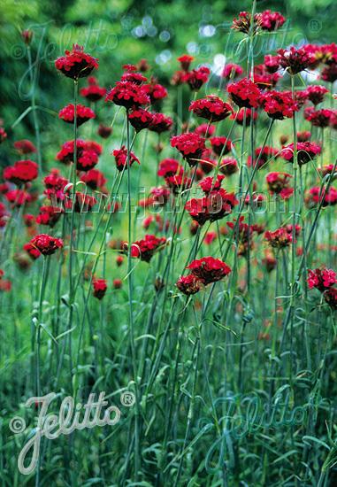 Semis de Dianthus Da192