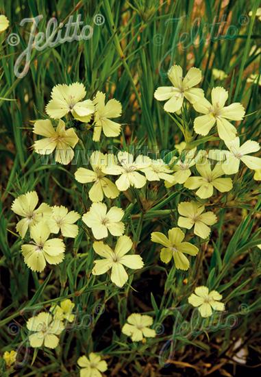 Semis de Dianthus - Page 2 Da252