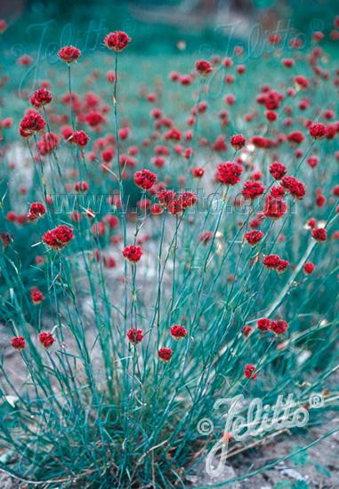 Semis de Dianthus - Page 2 Da268