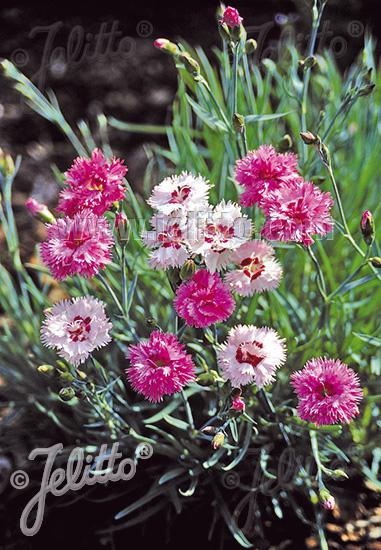 Jelitto Perennial Seed | DIANTHUS plumarius fl. pl ...