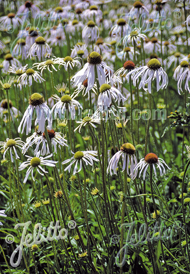 how to grow echinacea from seed