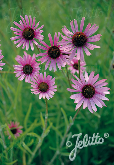 Jelitto Perennial Seed Echinacea Tennesseensis Rocky