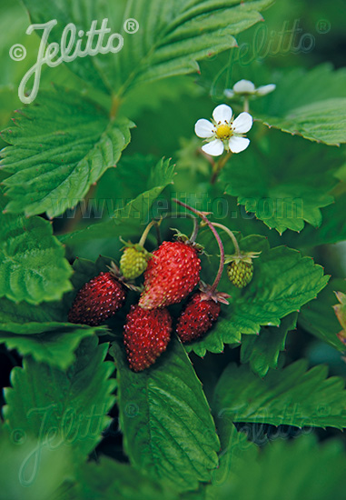 Fragaria vesca Alexandria Seeds Strawberry des bois Alexandria