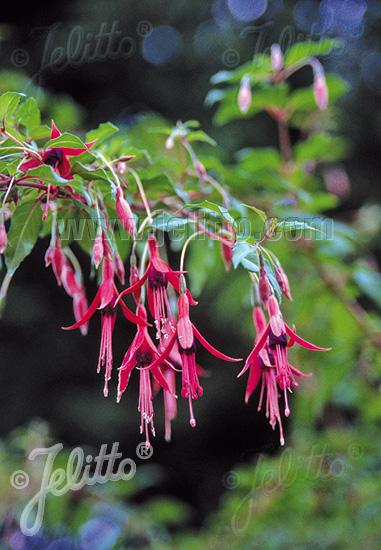 Jelitto perennial seed fuchsia magellanica portion s for Fuchsia magellanica
