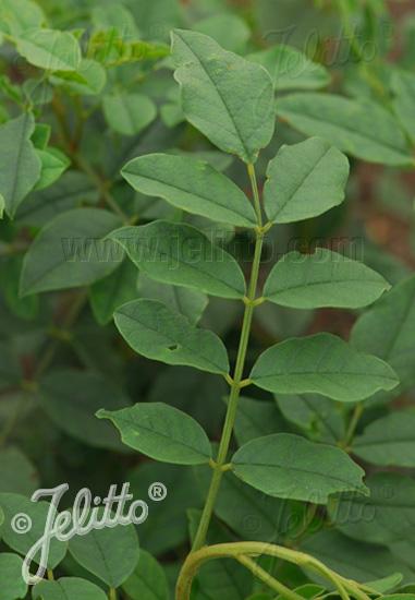 Jelitto Perennial Seed Glycyrrhiza Uralensis Portion S