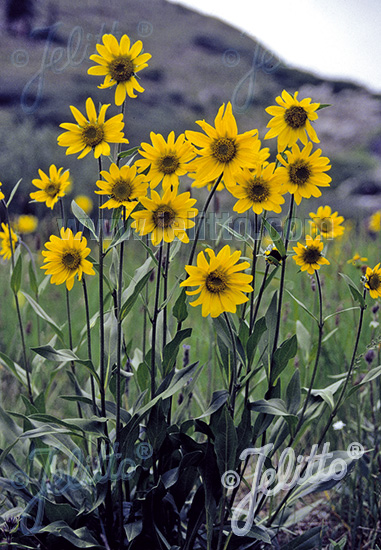 Jelitto Perennial Seed Helianthella Quinquenervis Portion S