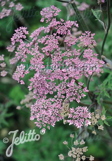 Jelitto perennial seed heracleum sphondylium pink cloud portions 1 mightylinksfo