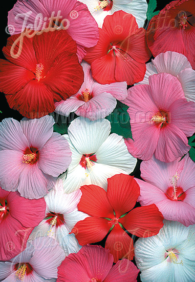 jelitto perennial seed hibiscus moscheutos hybr 39 galaxy. Black Bedroom Furniture Sets. Home Design Ideas