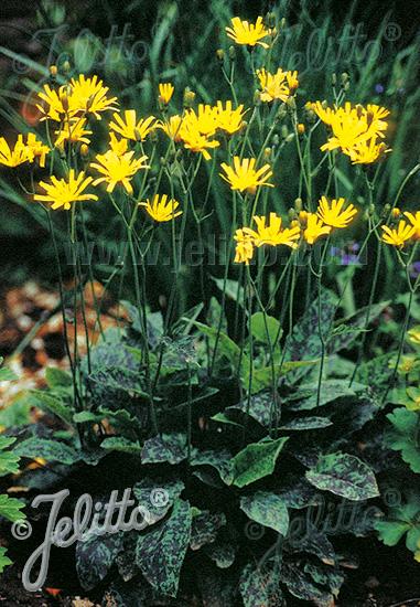 Black Tea Leaves Plant Growing And Producing Tea How Tea