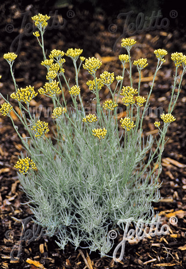 Jelitto Perennial Seed Helichrysum Italicum Portion S