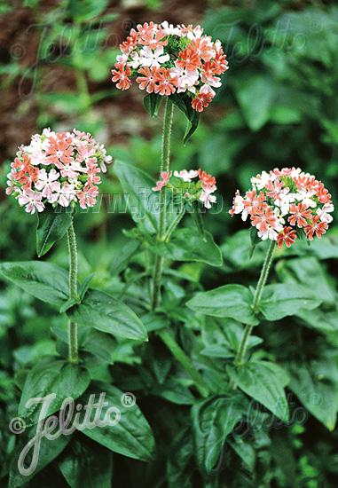 Jelitto Perennial Seed Lychnis Chalcedonica Carnea