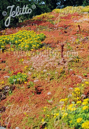 Jelitto Perennial Seed Standard Sedum Mix For Green