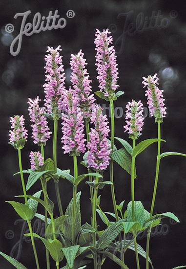 Jelitto perennial seed nepeta nervosa pink cat portions nepeta nervosa pink cat mightylinksfo