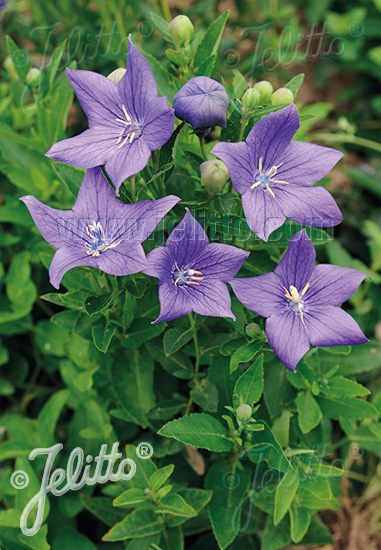 Platycodon mariesii BLUE FLOWERS Seeds!