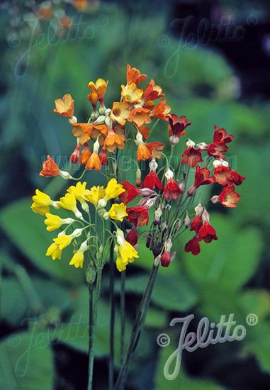 Jelitto Perennial Seed Primula Florindae Keilour Hybr