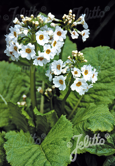 Jelitto Perennial Seed | PRIMULA japonica 'Alba' Seeds | 381 x 550 jpeg 127kB