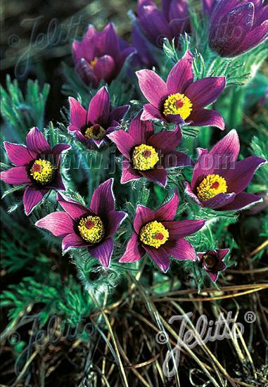 Jelitto Perennial Seed | PULSATILLA vulgaris Seeds