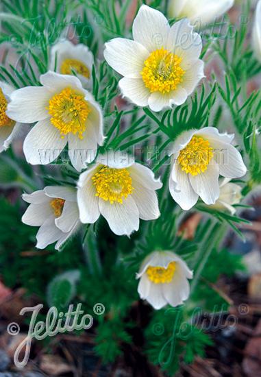 Jelitto Perennial Seed | PULSATILLA vulgaris 'Alba' Seeds