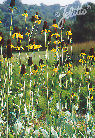 Jelitto Perennial Seed Rudbeckia Maxima Portion S
